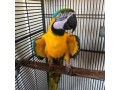 adorable-macaw-parrots-looking-for-new-homes-small-0