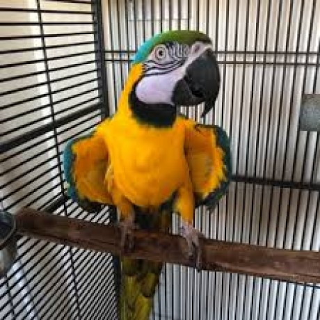 adorable-macaw-parrots-looking-for-new-homes-big-0