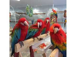 Healthy QualityPet Parrot Birds on sale