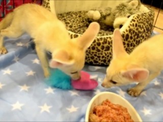 HOME RAISED FENNEC FOX BABIES AVAILABLE