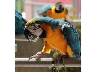 Adorable hand tamed Macaw parrots