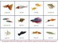 live-ornamental-fish-small-0