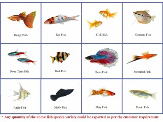 Live Ornamental Fish
