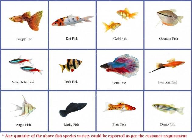 live-ornamental-fish-big-0