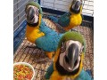available-hyacinth-macawblue-gold-macawafrica-grey-parrots-small-1