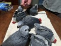 available-hyacinth-macawblue-gold-macawafrica-grey-parrots-small-2