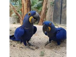 Available Hyacinth Macaw,Blue & Gold Macaw,Africa Grey Parrots
