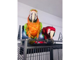 Macaw Rare Talking Parrot.