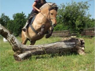 Free adoption of my 7 year pony fjord