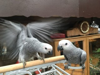 Pair of Talking congo African Grey Parrots