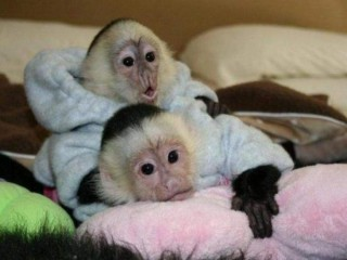 Cute And Lovely Capuchin Monkey Ready for adoption Cantonment