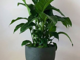 Peace Lily - Indoor Plant