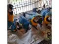 hand-fed-tamed-trained-babies-and-adults-parrots-and-fertilized-eggs-for-sale-small-0