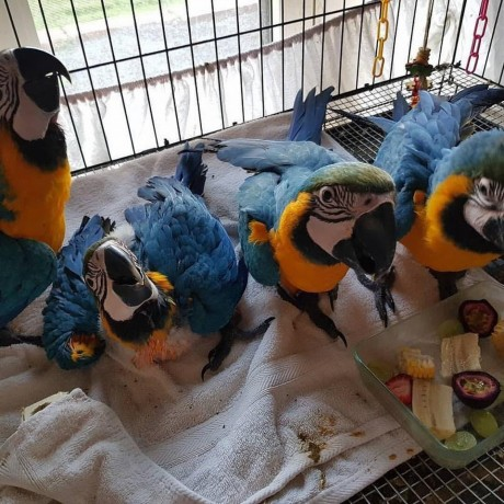 hand-fed-tamed-trained-babies-and-adults-parrots-and-fertilized-eggs-for-sale-big-0