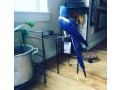 hyacinth-macaw-small-2