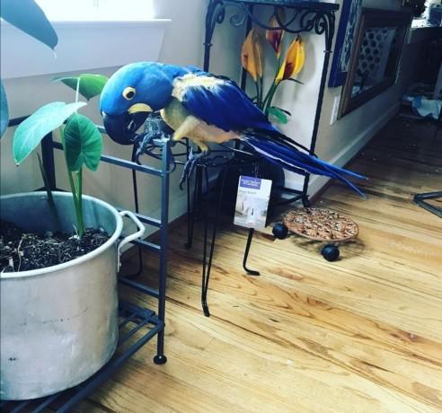 hyacinth-macaw-big-1