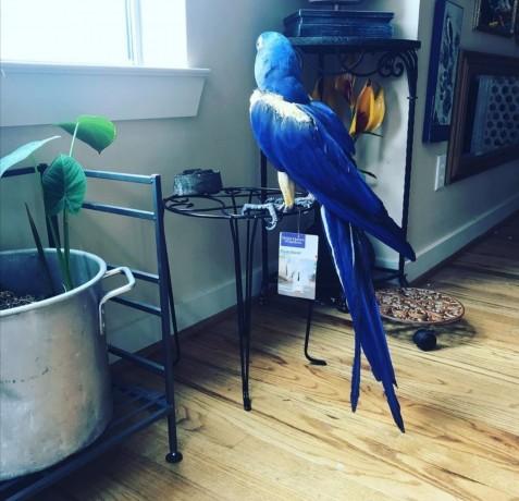 hyacinth-macaw-big-2