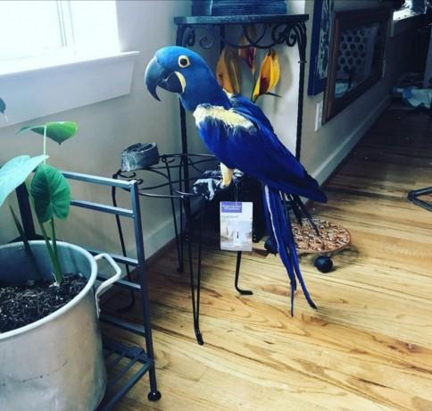 hyacinth-macaw-big-0