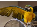 xmas-talking-macaw-birds-for-families-small-0