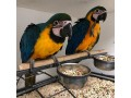 blue-and-gold-macaws-small-0
