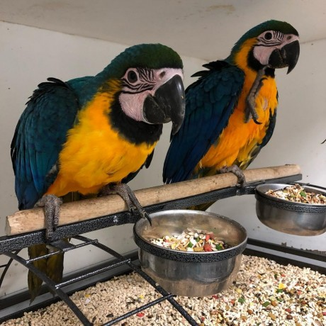 blue-and-gold-macaws-big-0