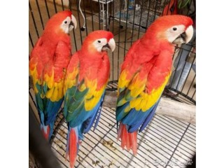 Gorgeous Tamed & Talking Parrots for adoption