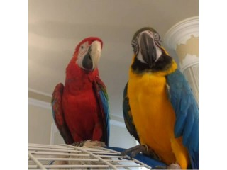 Birds,Parrots,African Grey,Macaws,Scarlet,Hyacinth,Cockatoos Text +1 (724) 241-3049