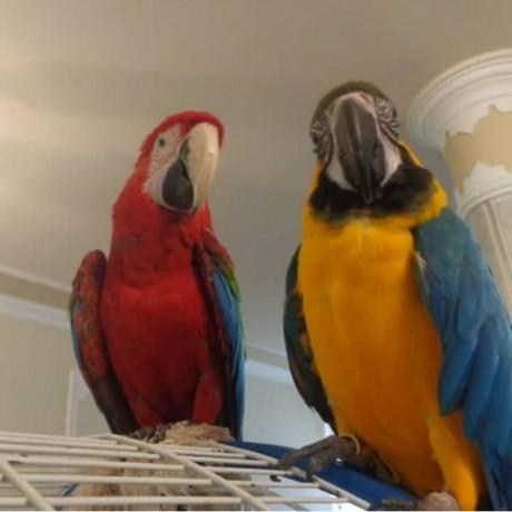 birdsparrotsafrican-greymacawsscarlethyacinthcockatoos-text-1-724-241-3049-big-0