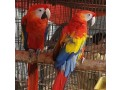 buy-young-and-friendly-blue-and-goldhyacinth-macaws-and-others-small-0