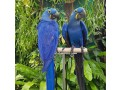 buy-young-and-friendly-blue-and-goldhyacinth-macaws-and-others-small-2