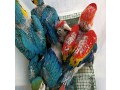 buy-young-and-friendly-blue-and-goldhyacinth-macaws-and-others-small-1