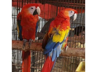 Buy Young And Friendly Blue and Gold,Hyacinth Macaws and Others