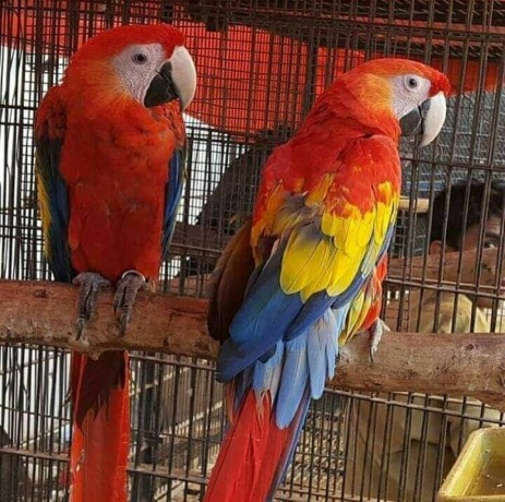buy-young-and-friendly-blue-and-goldhyacinth-macaws-and-others-big-0