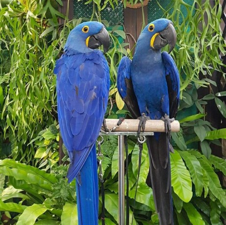 buy-young-and-friendly-blue-and-goldhyacinth-macaws-and-others-big-2