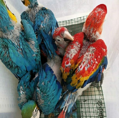 buy-young-and-friendly-blue-and-goldhyacinth-macaws-and-others-big-1