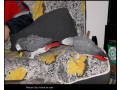 african-grey-parrot-for-sell-small-0