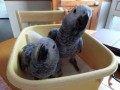 adult-and-baby-macaw-parrots-for-sale-small-1
